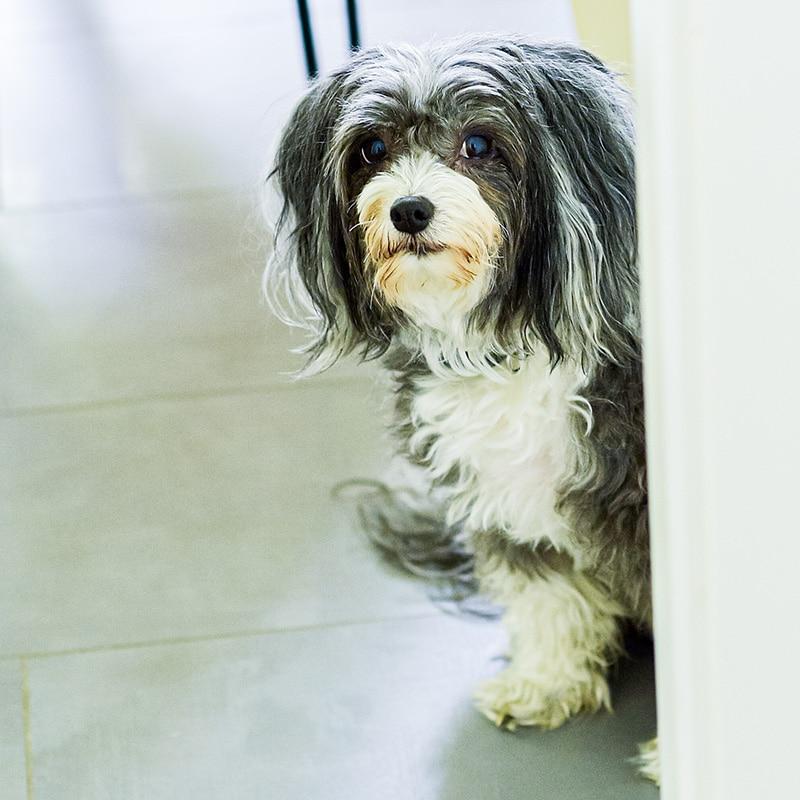 Agenturhund